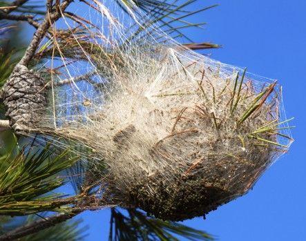 """Résultat de recherche d'images pour """"nid chenille processionnaire du pin"""""""